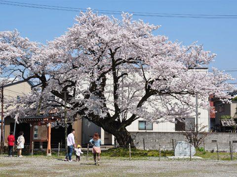 黒部 100年桜