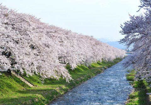 朝日町 舟川べりの桜