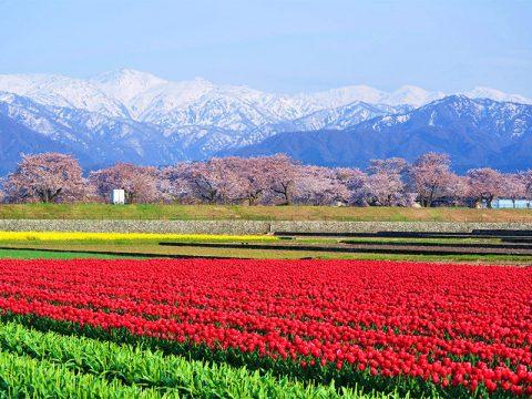 朝日町 舟川べりの桜 春の四重奏
