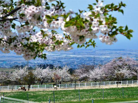 くろべ牧場の桜
