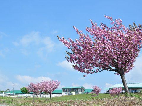 くろべ牧場の子福桜