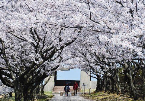 宮野山の桜並木