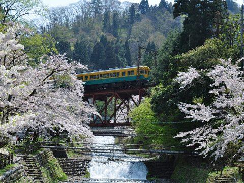 黒部の桜(かぼちゃ電車と)