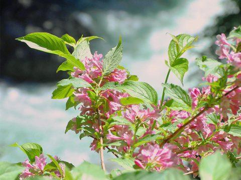 黒部峡谷の花