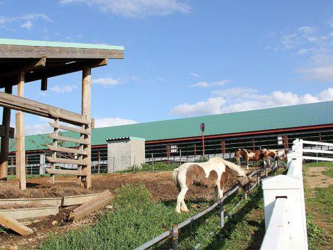 くろべ牧場の牛たち