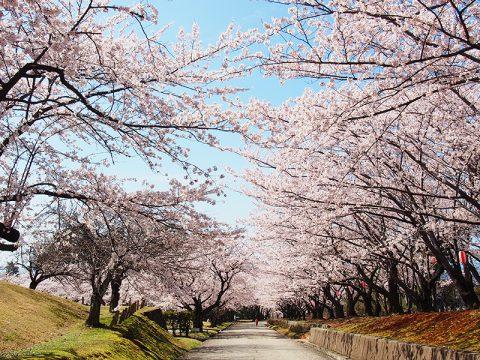 黒部の桜の名所 宮野運動公園